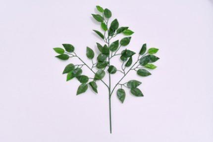 1664 - Ficus