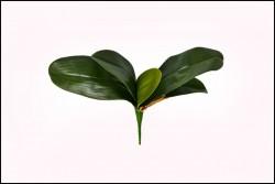Folha de Orquídea